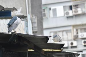 夜鷺是此處的常客,啄食水中的生物維生。